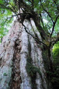 紀元杉(鹿児島県観光サイトHPから)